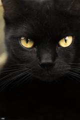 Thousand yard stare (happad fotografie) Tags: cat kat black zwart pet animal yellow eyes closeup huisdier portrait