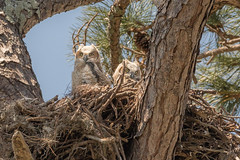 Juvenile Great Horned Owls (James Kellogg's Photographs) Tags: audubon hooters hoot tigerowl nn staring saint zoomlens feathers bug eyes who feather horny teleconverter extender juvenile great horned owls st augustine nest birds cute babies young trees canon eos 7d mark ii ef70200mm f28l is usm 2x iii owlet owlets