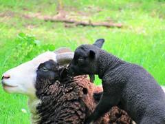 Ba, Ba, Black Sheep   (Explored 19th April 2017) (seanwalsh4) Tags: sheep black lamb nice cute adorable happy babablacksheep seanwalsh canon 7dwf sundaysfauna windmillhillcityfarm delightful springtime young