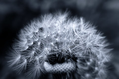 Dandelion Clock (dommylive) Tags: adobephotoshop april blackwhite countydurham dandelion garden macro macrolensfilter monotone northeastengland peterlee plants seasons seeds spring topazlabs