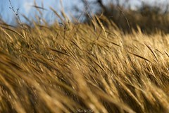 Ears of grass (Urs_i) Tags: nikond4 cyprus travel grass closeup macro afszoomnikkor2470mmf28ged