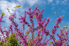 Blossoming Judas tree or Eastern Redbud tree (Cercis siliquastrum) branch with pink flowers isolated on sky. (yuliakupeli) Tags: background beautiful bloom blossom blossoming blue branch bright cerciscanadensis colorful daylight deciduoustree easternredbud flora flower judas judastree landscape massesofflowers natural nature nobody outdoor pink plant purple purplishpink redbudtree sky spring sunlight sunny tree