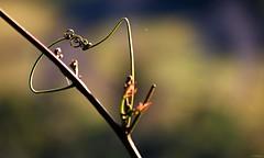 T5i_IMG_3019z (A. Neto) Tags: 700d canon canont5i700d eos t5i tamron tamron18200diiivc color plant nature bokeh cobweb