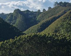 Salento (Andrea Giuseppe Ercole) Tags: sudamerica colombia andreaercole andreagiuseppeercole valledecocora cafetera palmedacera palme caffè piantagionidicaffè salento