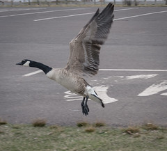 Canadian Goose Take Off, Rice's Point, Duluth (Sharon Mollerus) Tags: duluth minnesota unitedstates us cfpti17