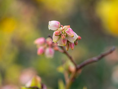 Blueberry flowers at our allotment (Unni Henning (also Instagram @unnikarin59)) Tags: blueberry flowers blossom plant bush allotment edible foraging blue pink garden growing ownfruit warwiskshire engand outdoor nature macro closeup narrowdepthoffield bokeh bokehbackground