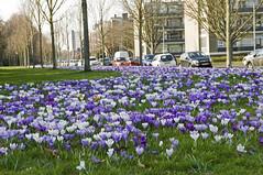 Lente 2017 (Mary Berkhout) Tags: maryberkhout voorjaar lente voorburg parkhetloo kleuren krokussen bloemen park groen wit paars geel