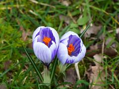 Crocus ii (Gilder Kate) Tags: crocus flower springflowers kew kewgardens royalbotanicgardens london spring panasoniclumix panasonic lumix panasoniclumixdmcfz200 fz200