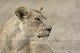 Leona (Lioness) - Ngorongoro CA - Tanzania