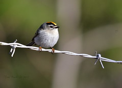 Golden-crowned Kinglet (twbjr1969) Tags: kinglet crowned golden wire barbed lake locust pennsylvania schuylkill