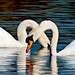 Swans - Stanborough Lakes