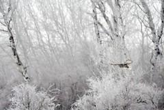The Silent Hunter of Winter - 2902+ (teagden) Tags: great gray owl ggo greatgrayowl greatgray jenniferhall jenhall jenhallphotography jenhallwildlifephotography wildlifephotography wildlife raptor birdofprey flight inflight birdinflight hovering winter hunting hunter winterscene winterphotography winterowl photography wild nikon nature naturephotography silenthunterofwinter frost cold coldmorning