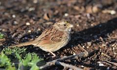 White-throated Sparrow juvenile by Jackie B. Elmore 4-7-2017 Lincoln Co. KY. (jackiebelmore) Tags: zonotrichiaalbicollis whitethroatedsparrow sparrow lincolnco kentucky nikon7100 tamronsp150600f563 jackiebelmore kos