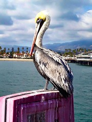 Pelican #pelican #bird #birdlife #seabird #ocean #ocean life #saltwater #big #crazy #huge #wtf #sky #cloud #dock #boardwalk #california (graceengelhardt) Tags: pelican bird birdlife seabird ocean lif saltwater big crazy huge wtf sky cloud dock boardwalk california