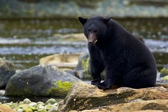 You with the camera.... (Blingsister-Melanie) Tags: george americanblackbear blackbear ursusamericanus bear blingsister melanieleesonwildlifephotography canon canon7dmarkii canonef100400mmf4556lisiiusm14xiii northernvancouverisland