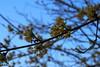 elvirágzott a som / overblown cornel (debreczeniemoke) Tags: tavasz spring rét meadow növény plant fa tree virág flower sárga yellow húsossom cornusmas europeancornel dogwood corneliancherry cornouillermâle kornelkirsche herlitze dürlitze hirlnuss dirndl corn corneuropean somfélék cornaceae olympusem5