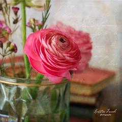 Ranunculus (Kerstin Frank art) Tags: stilllife ranunculus flowers garden books kerstinfrankart