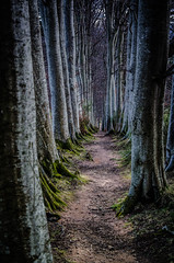 Path Through the Beech (daedmike) Tags: scotland glenshee pressendye beech trees nature woods path trail hillwalking hills moss roots silver bark branches twigs forrest