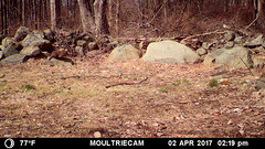 Groundhog - 14:19:26 (blazer8696) Tags: 2017 brookfield ct connecticut ecw obtusehill t2017 usa unitedstates yardstickwall groundhog marmot marmota marmotamonax mfdc1398 monax rodentia sciuridae whistlepig woodchuck