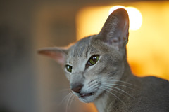 Prrrr... (Wiktor Kettel) Tags: cat catportrait catbokeh bokeh bokehwhore orientalshorthair orientalshorthaircat samyangcsc50mmf14asumc osh
