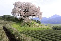 佐賀県嬉野 納戸料(なんどりょう)の百年桜/ 100-year-old cherry tree in Saga, Japan
