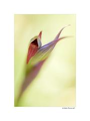 Serapias Lingua (g.femenias) Tags: serapiaslingua orchid orchidaceae macro bokeh flower nature betlem artà mallorca mediterranean