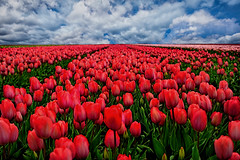 Field of dreams (marypink) Tags: tulips tulipani olanda thenetherlands field sky clouds perspective nikond800 70300mmf456 flowers spring