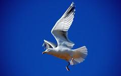 On a Wing and a Prayer! (antonychammond) Tags: gull seagull bird flight wings familylaridae sky blue seabird saariysqualitypictures infinitexposure birdwatcher contactgroups