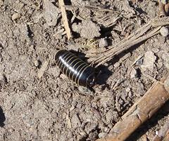 Pill Millipede Glomeris marginata (gailhampshire) Tags: pill millipede glomeris marginata taxonomy:binomial=glomerismarginata