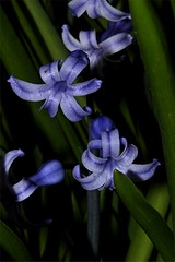 Hyazinthe - Hyacinthus orientalis, NGIDn570136783 (naturgucker.de) Tags: ngidn570136783 naturguckerde hyazinthe hyacinthusorientalis 649561984 2128523129 837121265 chorstschlüter