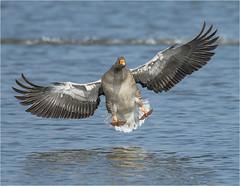 DSC_4481 Garry the Goose comes into land (springer67gs) Tags: nikond800 blacktoft sands greylag goose