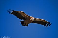 Grifone _010 (Rolando CRINITI) Tags: grifone uccelli uccello birds ornitologia goledelverdon francia natura lapaludsurverdon
