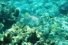 Starry puffer fish - Pesce palla stellato (Landersz) Tags: philippines filippine coron palawan club paradise snorkeling turtle shark clownfish nemo dugong landersz canon 5dmk3 nimar gopro hero5