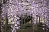DSC_1655 (sayo-tsu) Tags: 埼玉県 春日部市 kasukabe saitama wisteria 藤 特別天然記念物 牛島のフジ