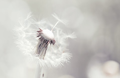 Beautiful white dandelion with seeds on tender background (♥Oxygen♥) Tags: dandelion flower tender closeup white spring head summer blossom fragility fluffy stem seed plant background nature single close photo blooming meadow nobody floral bluebackground fluff bloom one blowing season rural weed fragile lightweight scene beautiful wild detail delicate purity dry softness freshness wind leaf freedom sky flying horizontal light canon100mmf28lmacro