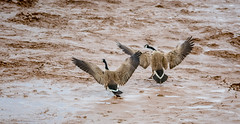 nesting canada geese goose spring mating rivals mud flats jonathan creek moncton wildlife birds