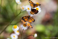 Hot Spot (Glotzsee) Tags: nature florida okeechobeecounty kissimmeeprairiepreservestatepark statepark park outdoors outside glotzsee glotzseefloridaimages flower flowers butterfly phaoncrescent phyciodesphaon