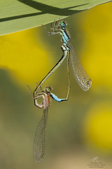 Elegans en cópula (Pipa Terrer) Tags: ischnuraelegans odonata zigoptera campodecartagena insecta damselfly caballitodeldiablo
