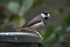 Timor Sparrow (Lonchura fuscata) (Seventh Heaven Photography) Tags: timor sparrow fuscata dusky lonchura lonchurafuscata bird songbird finch padda
