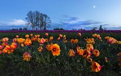 Tulips at Twilight (Woodburn, OR) (Sveta Imnadze) Tags: oregon tulipfestival flowers tulips twilight woodenshoetulupfestival