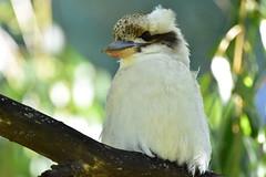 Laughing Kookaburra (Luke6876) Tags: laughingkookaburra kookaburra kingfisher bird animal wildlife australianwildlife