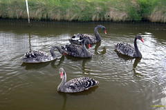 CDD2528 (Fransang) Tags: zwarte witte zwanen loosterweg voorhout lisse black swans white