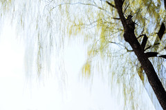 Greeting spring #3 (daniel0027) Tags: willowtree willow spring breeze springbreeze lightgreen multipleexposure sprout
