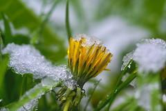 Little Snow Queen (░S░i░l░a░n░d░i░) Tags: flower nature plant green renateeichert white bloom yellow dandelion april wildflower snow 2017 spring drop resilu grassland