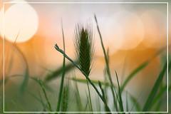L'épi centré (Pi-F) Tags: herbe nature vert orange lumière dof macro centre