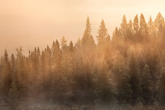 Golden Tamaracks (waterfallout) Tags: tamarack tamaracks tamaracktrees tamaracktree larix laricina larixlaricina sunrise mist misty morning mistymorning fog foggy golden goldenhour goldenlandscape landscape landscapes canadianlandscapes canada ontario algonquin algonquinprovincialpark algonquinpp provincialpark ontarioparks travel