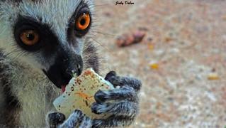 lemuridae...