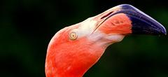 je vous vois........ (Marie-Laure L) Tags: flamand rose oeil bec