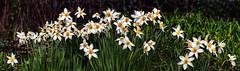 IMG_1891-93PCtzl1scTBbLGER (ultravivid imaging) Tags: ultravividimaging ultra vivid imaging ultravivid colorful canon canon5dmk2 flowers spring springflowers