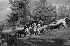 Panurge (gibs02) Tags: animal mouton agriculture campagne troupeau nb monochrome